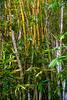 Bamboo in the tropical rainforest<br><br>Manoa Honolulu, Hawaii