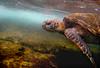 Hawai'ian Green Sea Turtle (Honu) swimming in the Ocean off Lani's Beach on the North Shore of O'ahu<br /> <br /> Hawai'i
