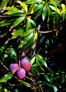 Mango - Ripe!   my Favorite Tropical Fruit!