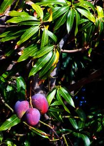Mango - Ripe!   my Favorite Tropical Fruit!