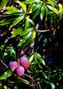 Mango - Ripe!  <br /> my Favorite Tropical Fruit!