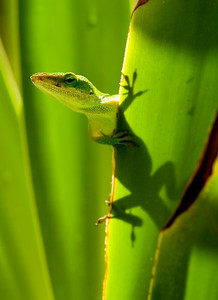 Green anole (sometimes mistakenly called a gecko)