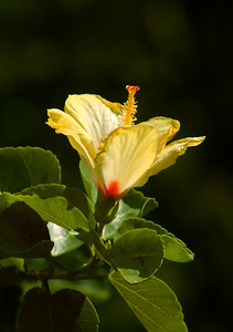 "The delicate yellow Hibiscus ""Pua Aloalo"" is Hawai'i's state flower. Tropical hibiscus and hardy perennial hibiscus grow throughout the islands.There may now be over 10,000 named varieties of tropical hibiscus, with 6 distinct forms of flowers (singles, doubles, crested, etc.) in numerous colors and combinations of colors.Hawai'i-rose / Hibiscus rosa-sinensis"