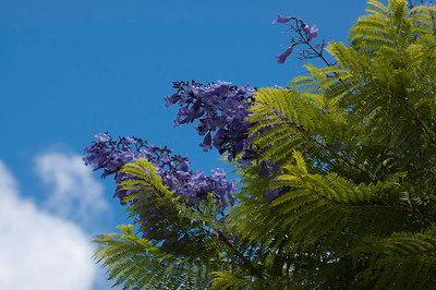 Jacaranda tree in bloom