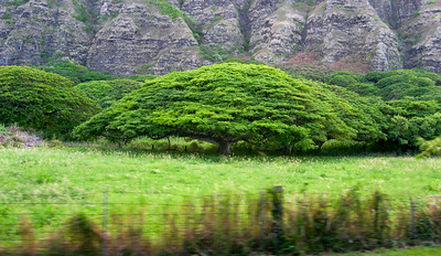 Monkeypod trees mauka Chinaman's hat along the Ko'olau Mountains