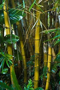 Bamboo in the tropical rainforestManoa Honolulu, Hawaii