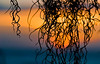 Spanish Moss against a sunset sky<br /> Sunset Point<br /> North Shore of O'ahu, Hawai'i