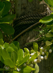 Rope around a wooden post along the shoreline where naupaka grows with tenacity North Shore Oahu, Hawaii