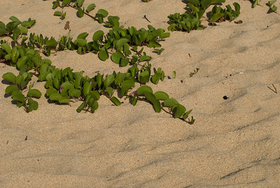 Morning glory creep along the sandy beach  North Shore Oahu, Hawaii