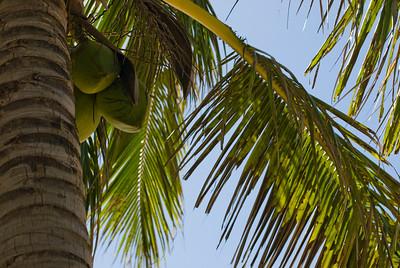 Coconut Palm Tree North Shore Oahu, Hawaii