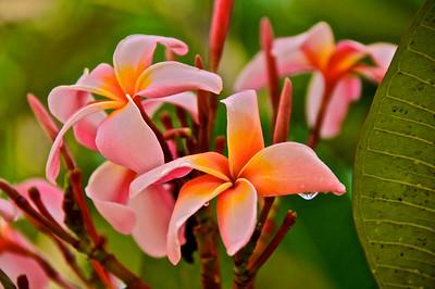 burmese flowers