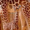 It's a Girl!  Fourth Giraffe Born at Disney's Animal Kingdom theme park