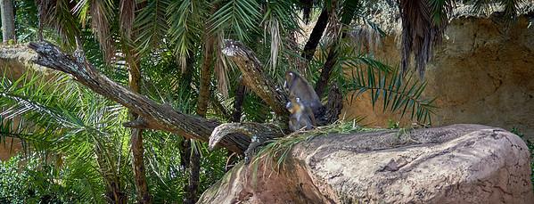 Mandrill Primate