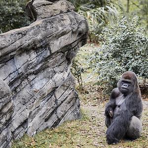 Dreaming Gorilla