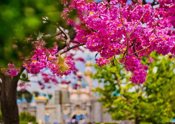 """One of the Top 10 ways to photograph Sleeping Beauty Castle! <br /> <br /> Read more: <a href=""""http://www.disneytouristblog.com/sleeping-beauty-castle-photo-spots/"""">http://www.disneytouristblog.com/sleeping-beauty-castle-photo-spots/</a>"""