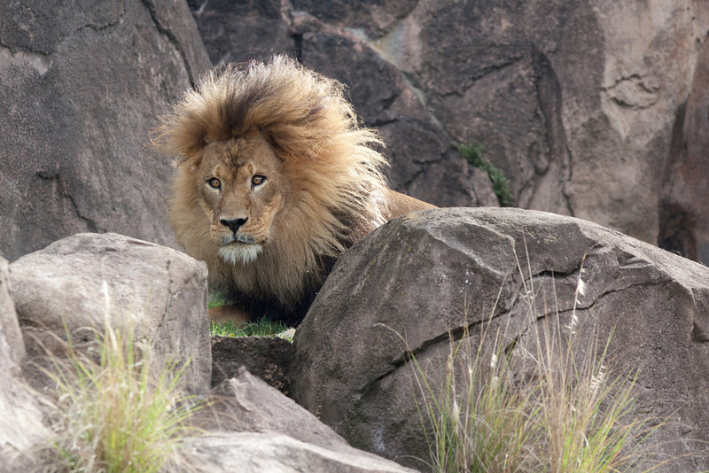 Lion on the Safari Ride.