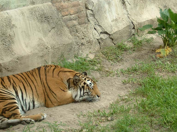 Tiger in Animal Kingdom