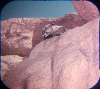 1959 Viewmaster mountain lion on Mine Train ride. (I didn't ride Big Thunder Mountain this trip, so not even sure whether there's a similar big cat on the ride. There are other animals.)