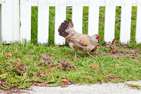 We walked with this hen and her babies down the street.  We were on our way to the Hemmingway House - but found it closed for a private funeral when we got there.  Oh well - next time.