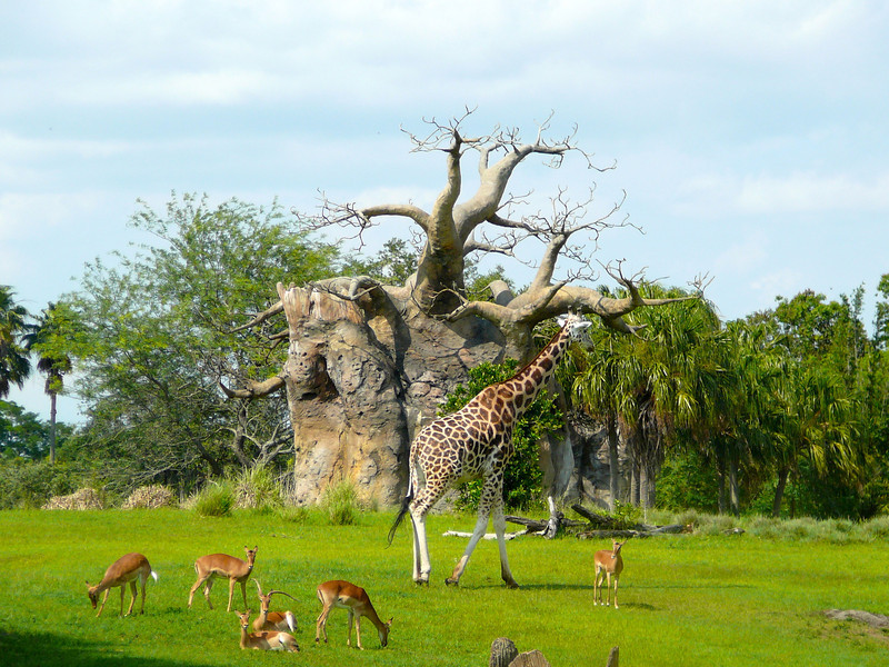 Definitely the big highlight at Animal Kingdom is doing the African Safari... there's a Giraffe and some other animals we saw while on our excursion.