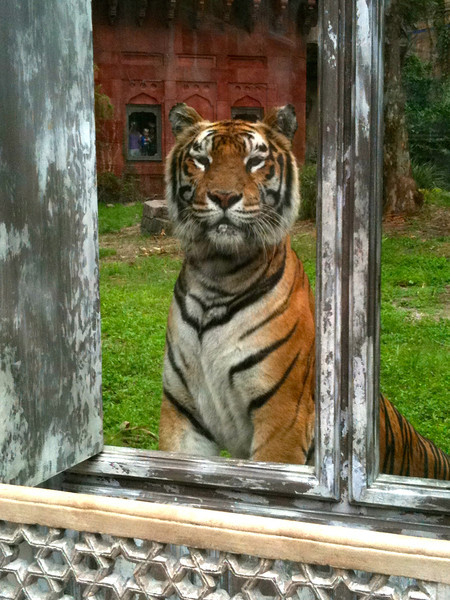 """During the """"Maharajah Jungle Trek"""" we got to see this amazing animal... very cool!"""