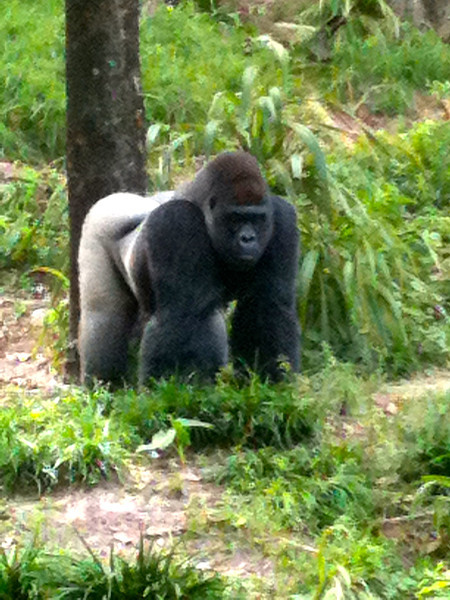 "After our Safari we took a stroll through the ""Pangani Forest Exploration Trail"" and saw more cool animals like this Gorilla! :-)"