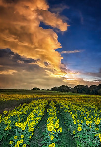 Heat Lightning and Comet Over Sunflower Field