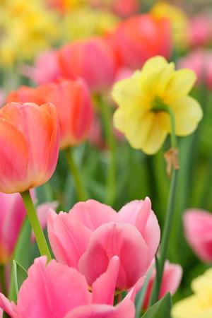 Multiple tulips and daffodils at Norfolk Botanical Garden, VA. © 2021 Kenneth R. Sheide