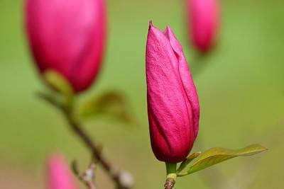 Unopened Magnolia blooms. Norfolk Botanical Garden, VA. © 2021 Kenneth R. Sheide