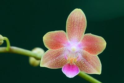 Orchid at Norfolk Botanical Garden, VA. © 2021 Kenneth R. Sheide