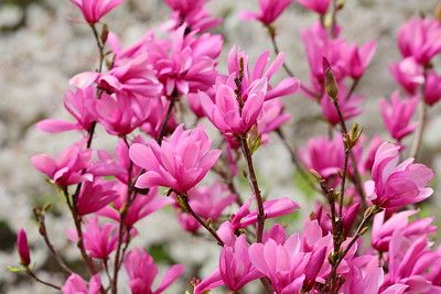 Pink magnolia blooms with crabapple in background. Norfolk Botanical Garden, VA. © 2021 Kenneth R. Sheide