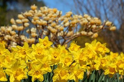 Daffodils and paper bush at Norfolk Botanical Garden, VA. © 2021 Kenneth R. Sheide