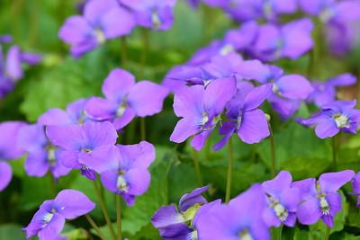 Wild violets (Viola papilionacea) grow in a bunch at Norfolk Botanical Garden, VA. © 2021 Kenneth R. Sheide