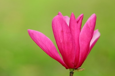 Pink magnolia flower at Norfolk Botanical Garden, VA. © 2021 Kenneth R. Sheide