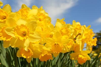 Yellow daffodils at Norfolk Botanical Garden, VA. © 2021 Kenneth R. Sheide