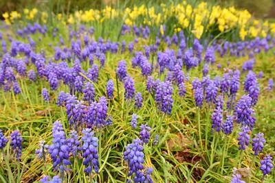 Hyacinth with daffodils in distance. Norfolk Botanical Garden, VA. © 2021 Kenneth R. Sheide