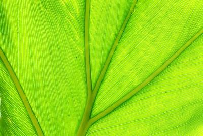 Underside of leaf in sun. Norfolk Botanical Garden, VA. © 2021 Kenneth R. Sheide