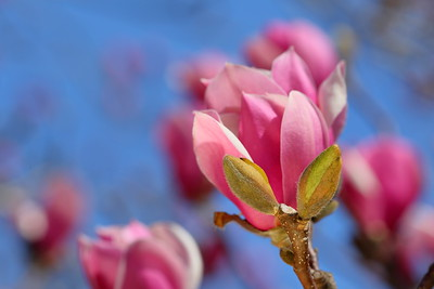 Pink magnolias at Norfolk Botanical Garden, VA. © 2021 Kenneth R. Sheide