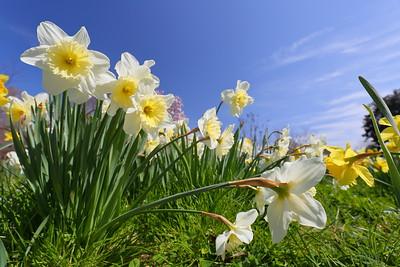 Amongst daffodils at Norfolk Botanical Garden, VA. © 2021 Kenneth R. Sheide