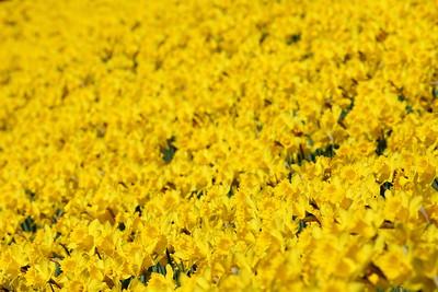 Field of daffodils at Norfolk Botanical Garden, VA. © 2021 Kenneth R. Sheide