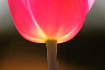 Tulip lantern at Norfolk Botanical Garden, VA. © 2014 Kenneth R. Sheide