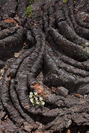 Flowers grow from the lava flow at Craters of the Moon National Monument, ID. © 2013 Kenneth R. Sheide
