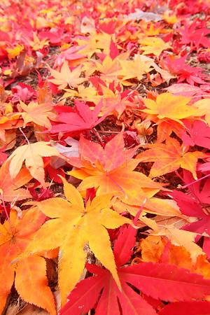 Colorful maple leaves, Williamsburg, VA. © 2013 Kenneth R. Sheide