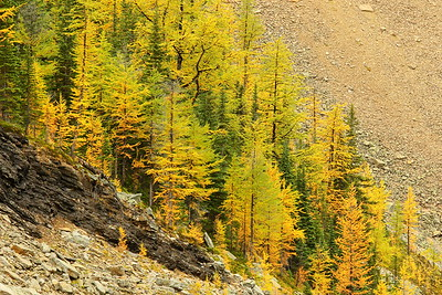 Larches above Agnes Lake, Banff National Park, Alberta, Canada. © 2019 Kenneth R. Sheide