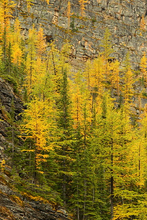 Larch trees at Agnes Lake. Banff National Park, Alberta, Canada. © 2019 Kenneth R. Sheide