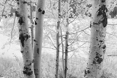Birch trees alongside Waterfowl Lakes. Jasper National Park, Alberta, Canada. © 2019 Kenneth R. Sheide