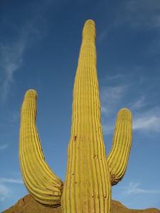 Saguaro near Tucson, AZ. © 2008 Kenneth R. Sheide