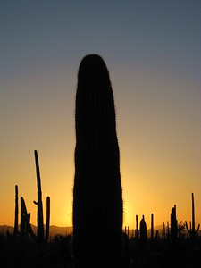 Saguaros backlit by sunset near Tucson, AZ. © 2008 Kenneth R. Sheide