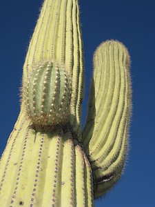 Saguaro in desert near Tucson, AZ. © 2008 Kenneth R. Sheide