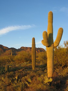 Saguaro in sunset light, Saguaro National, Park, AZ. © 2008 Kenneth R. Sheide